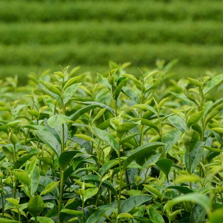 Thés verts grands crus Bio